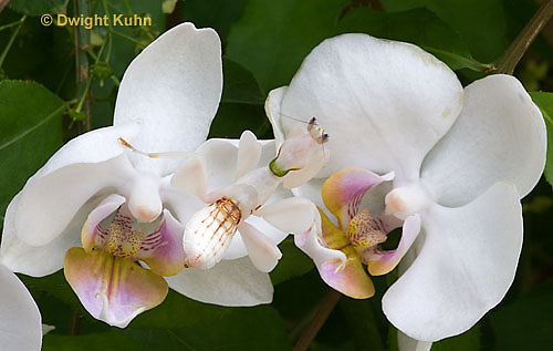 """1M24-501z  Malaysian Orchid Mantis - Hymenopus coronatus """"Nymph, camouflaged on orchids"""