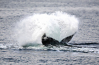 adult humpback whale, Megaptera novaeangliae, using a unique feeding strategy; stunning fish with its flukes, then side-lunging through the herring, Chatham Strait, Alaska, USA, Pacific Ocean