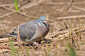 Wood Pigeon (Columba palumbus) foraging along a bank. Rather than feed their young insects, pigeons feed them a milk formed from sloughing off fluid-filled cells in the crop lining and is more nutritious than human or cow's milk.