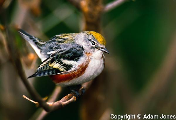Male Chestnut-sided Warbler, Dendroica pensylvanica