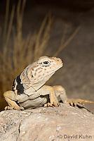0612-1019  Great Basin Collared Lizard (Mojave Black-collared Lizard), Crotaphytus bicinctores  © David Kuhn/Dwight Kuhn Photography