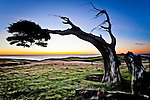 Bent but not broken this Cape Saunders tree on the Otago Peninsula stands testament to the sculpturing force of southerly winds from the Roaring Forties..This New Zealand Fine Art Landscape Print, available in four sizes on either archival Hahnemuhle Fine Art Pearl paper or canvas, is printed using Epson K3 Ultrachrome inks and comes with a lifetime guarantee against fading..All prints are signed and numbered on the lower margin and come with my 100% money back guarantee on the purchase price, should you not be  completely happy with the quality of the delivered print or canvas.