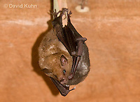 0715-1102  Seba's Short-tailed Bat, Roosting in Building in Belize, Carollia perspicillata  © David Kuhn/Dwight Kuhn Photography