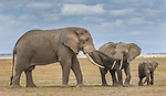African elephants and calf, Amboseli National Park, Kenya<br /> <br /> For stock licensing please contact info@artwolfe.com or 206.332.0993