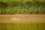 Saltwater Crocodile (Crocodylus porosus) basking on riverbank, Kinabatangan River, Sabah, Borneo, Malaysia