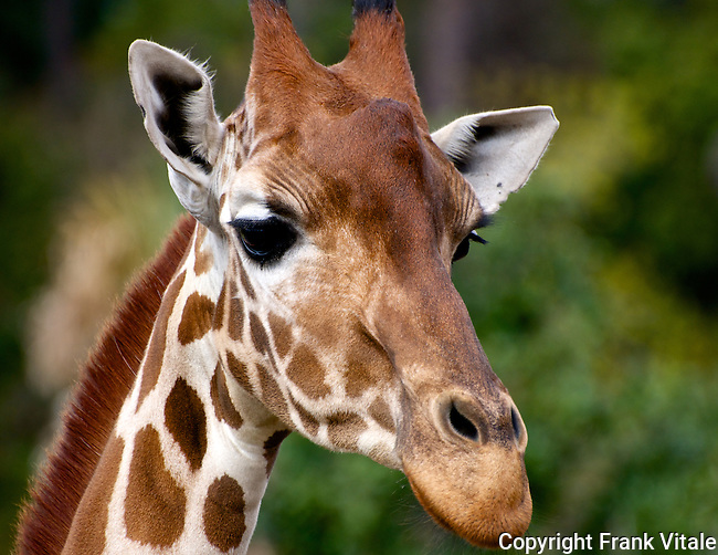 Face to face with a giraffe at the Jacksonville Zoo, Florida