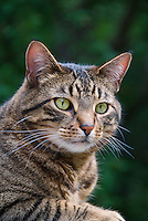 Duffy cat, barn animal, alert on the lookout for mice and pests, big yellow eyed tabby striped brown and black and white feline, male