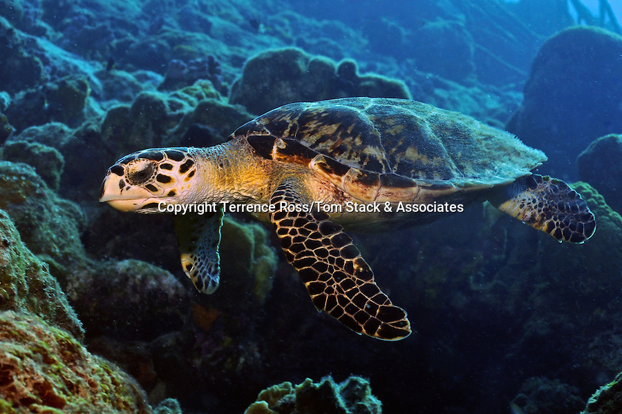 Hawksbill THawksbill Turtle (Eretmochelys imbricata) The Hawksbill turtle has been protected by the Endangered Species Act since 1970. The Hawksbill goes through many stages in life, starting from a mad race to the sea as a hatchling, to drifting in the open ocean as a juvenile, to a life on the reef as an adult. It is critical that the nesting sites for turtles are protected, beccause turtles will swim hundreds of miles to return  to their nesting sites every 2-3 years. If these nesting sites are disturbed, the number of hatchlings is diminished. Protection and conservation efforts are ongoing worldwide to protect this valuable species.urtle (Eretmochelys imbricata)