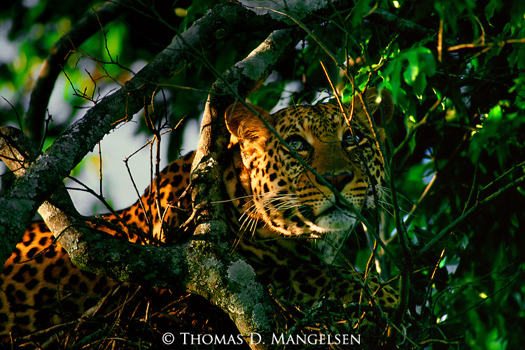 A leopard crouches in a tree, waiting for prey to wander within its reach in Serengeti National Park, Tanzania.