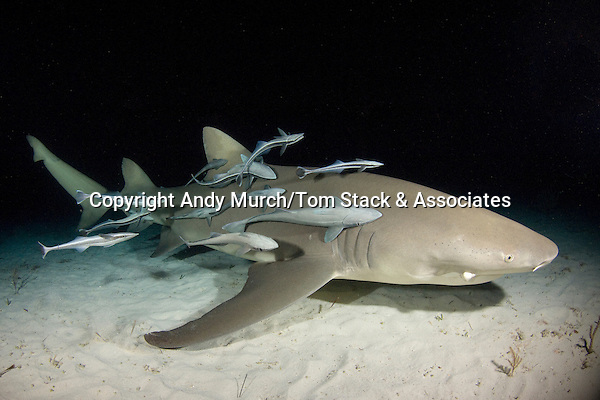 Lemon Shark, Negaprion brevirostris, with remoras or shark-suckers, Tiger Beach, Bahamas.