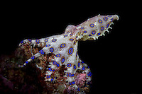 Blue-ringed Octopus (Hapalochlaena sp.) in Lembeh Strait / Indonesia