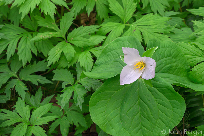 ORPTT_D105 - USA, Oregon, Tryon Creek State Natural Area, Western Trillium (Trillium ovatum) in bloom on forest floor surrounded by leaves of Pacific Waterleaf (Hydrophyllum tenuipes).