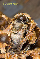 1B17-501z   Honeybee drone emerging from pupal case, Apis mellifera