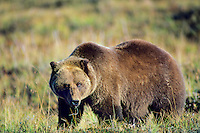 Grizzly Bear (UA) Alaska tundra.