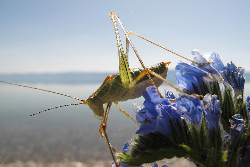 Ephippiger bush-cricket, Ephippiger ephippiger.<br /> Lagadin region. Lake Ohrid (693m).<br /> Galicica National Park, Macedonia, June 2009<br /> Mission: Macedonia, Lake Macro Prespa /  Lake Ohrid, Transnational Park<br /> David Maitland / Wild Wonders of Europe