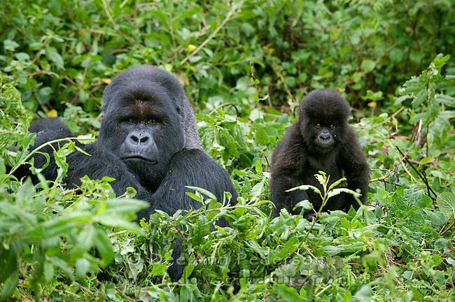 Silverback of the Susa Mountain Gorilla troop eating vegitation of the lush jungle in Volcanoes National Park with an infant gorilla. (Rwanda)