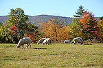 Flock of Sheep Grazing in Pasture with View of Mt. Skatutakee in Hancock, New Hampshire USA