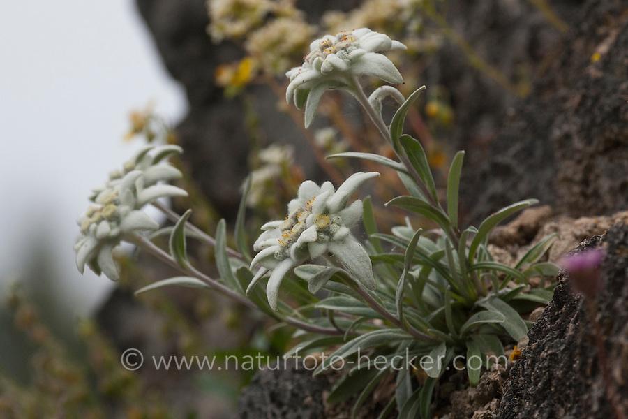 Alpen-Edelweiß, Alpen-Edelweiss, Leontopodium nivale, Leontopodium alpinum, Edelweiss