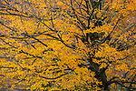 Sugar Maple (Acer saccharum) tree in autumn, Williamstown, Berkshires, Massachusetts