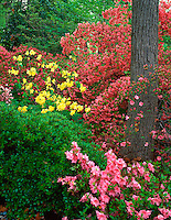 U.S. National Arboretum, Washington D.C.<br /> A variety of azaleas blooming near the Lee Garden in the Azalea Collections in spring
