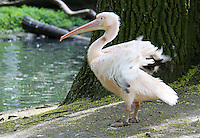 Stock image of a Pelican fluttering wings in front of a lake in Tier-park Berlin.<br />