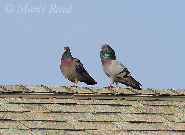 Rock Pigeons (Columba livia) pair walking along roof with male (R) performing courtship display to female, New York, USA