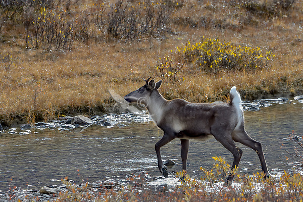 Woodland Caribou or mountain caribou (Rangifer tarandus caribou) cow crossing small stream in alpine tundra, Northern Rocky Mountains,  British Columbia.  Fall.