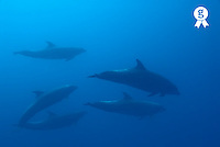 School of bottle-nosed dolphins (Tursiops Truncatus), underwater view (Licence this image exclusively with Getty: http://www.gettyimages.com/detail/200482610-001 )
