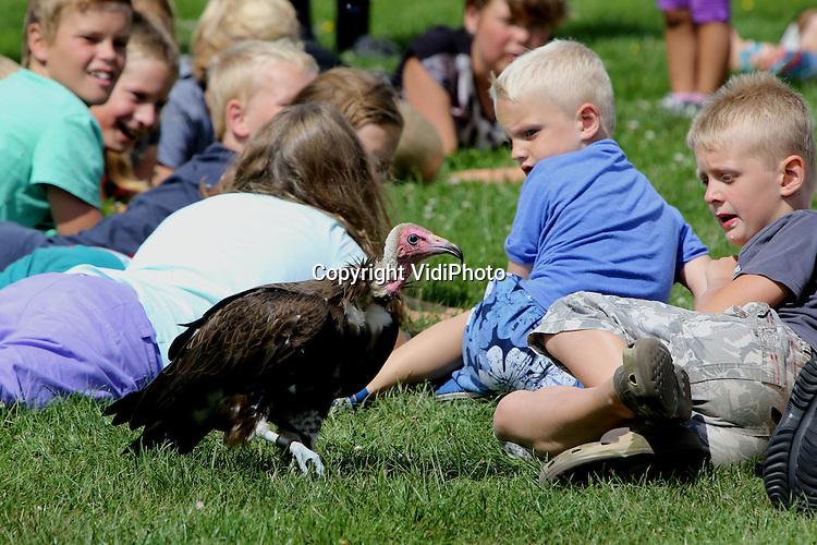 Foto: VidiPhoto<br /> <br /> EMMEN &ndash; Een roofvogeldemonstratie voor toeristen in Emmen woensdag door Valkerij Schaap uit Lochem. De Lochemse roofvogelspecialist is veelgevraagd dankzij een tweetal spectaculaire attracties: de tienjarige Amerikaanse visarend Mo en kapgier Jack die op en tussen liggende kinderen zijn voedsel zoekt. Schaap is daarom een veelgevraagde gast op attractieparken. Zijn roofvogels worden de laatste tijd ook veel gebruikt tijdens teambuildingsdagen van bedrijven. Voor valkeniers is de zomerperiode door de hoeveelheid demonstraties extra druk. Foto: Kapgier Jack aan de wandel.