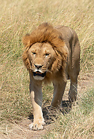 A male Lion, Panthera leo  melanochaita, in Maasai Mara National Reserve, Kenya