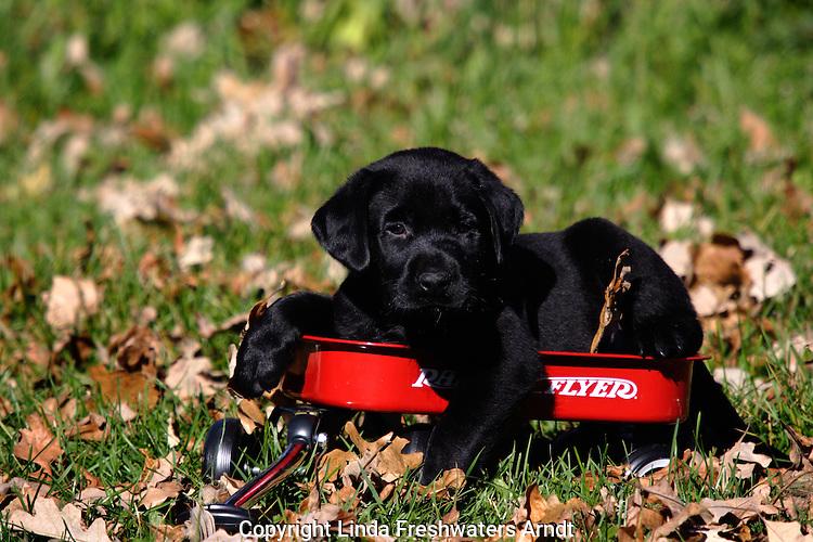 Black Labrador retriever (AKC) puppy lying in a minature radio flyer wagon.  Fall.  Birchwood, WI.