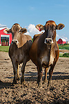20120624 Brown Swiss