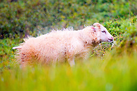 Icelandic female lamb shaking the rain off