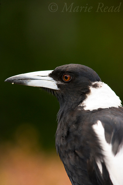 Australian Magpie (Gymnorhina tibicen), close-up, Lamington ational Park, Queensland,  Australia