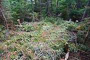 Environmental impact from poor camping ethics on the summit of Mount Flume in the White Mountains of New Hampshire. Healthy trees were cut to build this make shift tent platform or shelter.