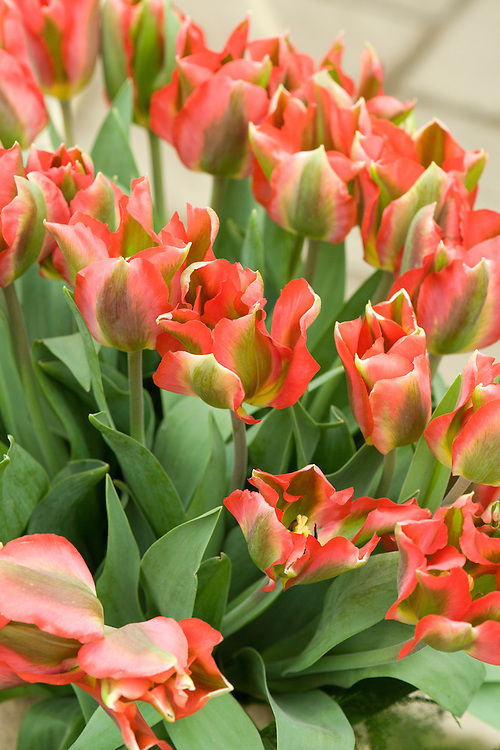 Tulip 'Hollywood' (Viridiflora Group), mid May. Sport of T. 'Artist', raised in 1956 by Captein Bros.