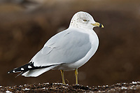 Adult Ring-billed Gull (Larus delawarensis) in basic (winter) plumage. Tompkins County, New York. December.