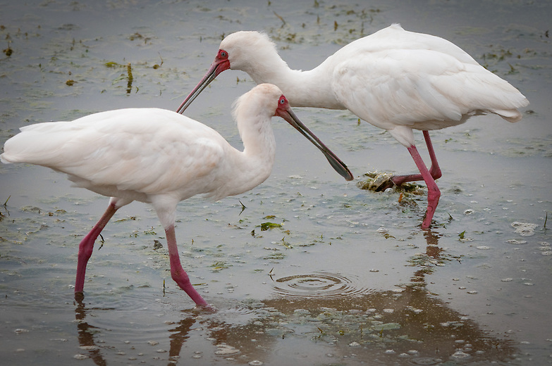 The African Spoonbill is a shy and alert bird.  It is usually silent, except for an occasional grunt when alarmed. It searches for its food in shallow waters by swinging its open bill from side to side. Its bill acts as a scythe (hooked tool) to catch its food.