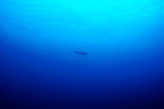 A solitary Galapagos Sharks (Carcharhinus galapagensis) at the Raoul Island, Kermadecs.