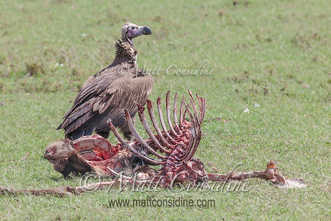 An African white-backed vulture stands on the ground next to the skeletal remains of a wildebeest carcass in the Masai Mara National Reserve, Kenya, Africa (photo by Wildlife Photographer Matt Considine)