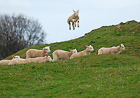 Texel sired lambs jumping, Northumberland....Copyright..John Eveson, Dinkling Green Farm, Whitewell, Clitheroe, Lancashire. BB7 3BN.01995 61280. 07973 482705.j.r.eveson@btinternet.com.www.johneveson.com