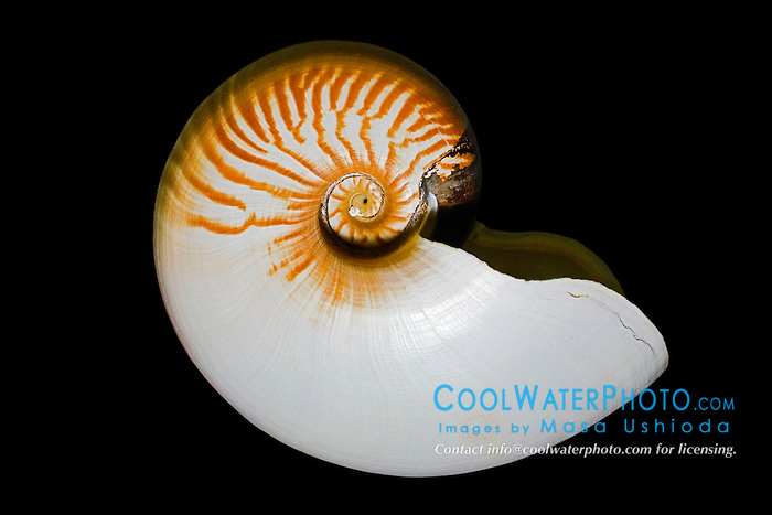 crusty nautilus shell, Allonautilus scrobiculatus, the rarest and most unusual of living nautilus, note can see through the inner spiral of the shell (open umbilicus), found only in the Solomon Islands and New Guinea