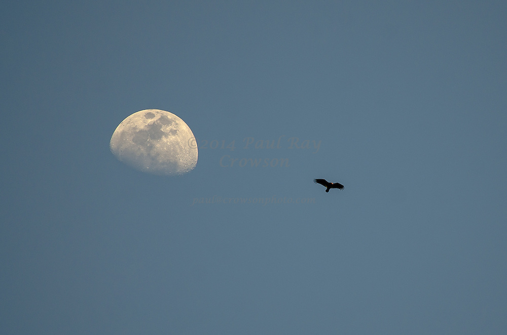 Turkey Vulture and moon