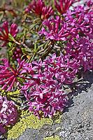 Steinröschen, Stein-Röschen, Gestreifter Seidelbast, Daphne striata, Striped Daphne