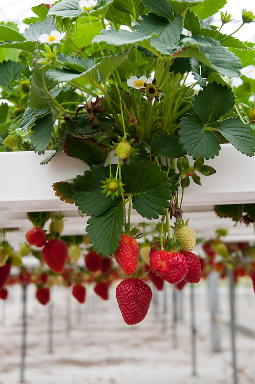 New Zealand, South Island, Marlborough, hydroponic strawberry production at Hedgerow Hydroponics. Photo #126358