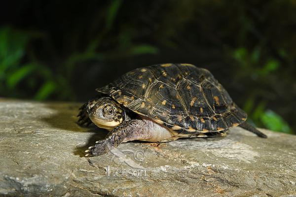 Blanding's Turtle youngster (Emydoidea blandingii), species at risk, Kejimkujik NP, Nova Scotia, Canada.