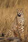 Cheetah (Acinonyx jubatus) three year old male, Kafue National Park, Zambia