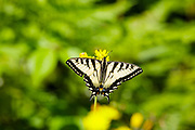 Eastern Tiger Swallowtail - Papilio glaucus - butterfly during the spring months in the White Mountains, New Hampshire.