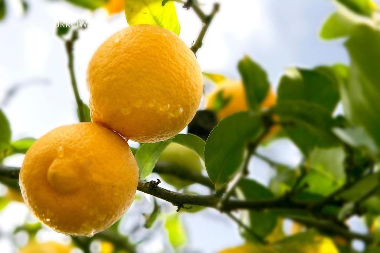 Lemons on the tree after rain fall, Ojai, CA.