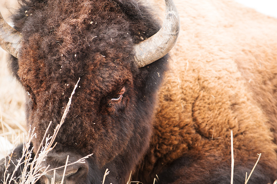 A bison rest on a sagebrush flat near Mammoth Hot Srpings in Yellowstone National Park.